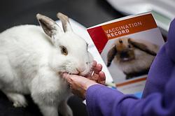 Pet rabbit during a consultation at Rushcliffe Veterinary Centre, West Bridgford, Nottingham, UK.<br /> Photo: Ed Maynard<br /> 07976 239803<br /> www.edmaynard.com