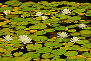 Flowers and leaves of American white waterlily (Nympahea odoroata) <br />