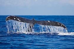 Humpback Whale, Megaptera novaeangliae, fluke-up dive, Hawaii, Pacific Ocean