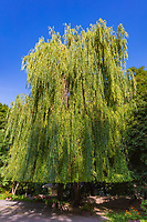 weeping willow Mariinsky Park Landmark of Kiev Ukraine Europe