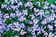 Alaska. Forget-me-not, Alaska State Flower.