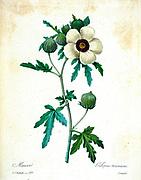 19th-century hand painted Engraving illustration of a Flower-of-an-hour, Shoofly (Hibiscus trionum) flower, by Pierre-Joseph Redoute. Published in Choix Des Plus Belles Fleurs, Paris (1827). by Redouté, Pierre Joseph, 1759-1840.; Chapuis, Jean Baptiste.; Ernest Panckoucke.; Langois, Dr.; Bessin, R.; Victor, fl. ca. 1820-1850.