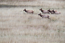 Bull elk during fall rut, Vermejo Park Ranch, New Mexico, USA.