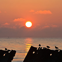 A flock of ruddy turnstones (Arenaria interpres) sitting on decaying old dock structures are partially silhoutted against the sunrise, Port Mahon, Delaware.