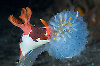 A Nembrotha Nudibranch feeds upon a colonial tunicate.<br /> <br /> Shot in Indonesia