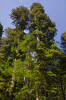 Coast Redwoods (Sequoia sempervirens) forest, Lady Bird Johnson Grove, Redwoods National Park, California