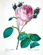 19th-century hand painted Engraving illustration of a pink Provence rose, Cabbage rose, rose of one hundred petals. Rosa centifolia. by Pierre-Joseph Redoute. Published in Choix Des Plus Belles Fleurs, Paris (1827). by Redouté, Pierre Joseph, 1759-1840.; Chapuis, Jean Baptiste.; Ernest Panckoucke.; Langois, Dr.; Bessin, R.; Victor, fl. ca. 1820-1850.