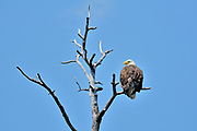 Bald eagle (Haliaeetus leucocephalus) in dead tree on the English River<br />Ear Falls<br />Ontario
