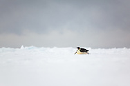 Emperor Penguin on pack ice at Cape Washington, Ross Sea, Antarctica