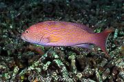 white-edged or whitemargin lyretail<br /> grouper, Variola albimarginatus,<br /> Sipadan, Borneo, Malaysia ( Celebes Sea )