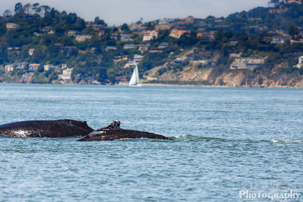 Rare sighting of mother humback whale, Megaptera novaeangliae, swimming with baby in San Francisco Bay
