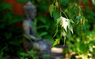 Buddha, Birch Tree