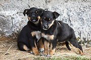 Puppies<br /> near Chimborazo<br /> Ecuador, South America