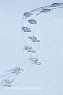 01874-07808 Polar Bear (Ursus maritimus) tracks in snow  Churchill  MB