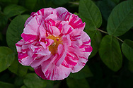 Rosa gallica var officinalis 'Versicolour' (Rosa mundi) a striped pink rose