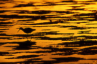 Silhouette of a willet (Catoptrophorus semipalmatus) feeding on mudflats.