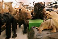 Collection area of large mammal, Senckenberg Natural History Collection Dresden..Sammlungsraum der Grosssaeuger, Senckenberg Naturhistorische Sammlungen Dresden