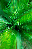 Sword ferns, motion blur Kitsap Peninsula, Puget Sound, WA, USA