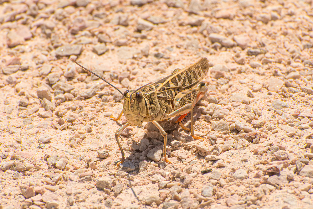 """The red-shanked grasshopper is a large member of the banded-winged grasshoppers found throughout most of the western United States Mexico, and north into the Canadian Prairies. It prefers open, arid grasslands and prairies where it feeds on a number of grasses and sedges. It is easily recognized by its bold pattern and red rear feet. When threatened, it will take a long """"jump"""" as it flies to a nearby locations with a loud buzzing noise called crepitation. As it flies, it will reveal momentarily its beautiful yellow wings. This one was stalked/chased and photographed near the El Malpais National Monument in Cibola County, New Mexico."""