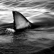 Gansbaai Syd Afrika 2003 <br /> South Africa<br /> <br /> i vattnen utanför Gansbaai finns det massor av vit hajar <br /> hajfena great white shark sharkfin<br /> hav indiska oceanen<br /> <br /> <br /> FOTO : JOACHIM NYWALL KOD 0708840825_1<br /> COPYRIGHT JOACHIM NYWALL<br /> <br /> ***BETALBILD***<br /> Redovisas till <br /> NYWALL MEDIA AB<br /> Strandgatan 30<br /> 461 31 Trollhättan<br /> Prislista enl BLF , om inget annat avtalas.