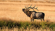 Bull Elk bugling with grass on antlers