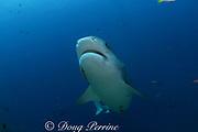 tiger shark, Galeocerdo cuvier, at Shark Reef Marine Reserve, Beqa Passage, Viti Levu, Fiji