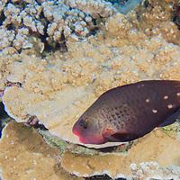 Bullethead Parrotfish Female, Chlorurus spilurus, (Valenciennes, 1840), Lanai, Hawaii