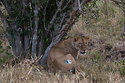 The lioness treated by KWS veterinary -  supported by The David Sheldrick Wildlife Trust -  Jeremiah Poghon and his team it awakens from anesthesia