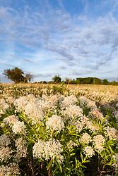 Prairie redroot (Ceanothus herbaceus) on Blackland Prairie remnant, White Rock Lake, Dallas,Texas, USA