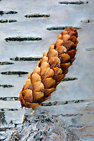 Spruce cone on Paper Birch trunk, Glacier National Park Montana USA