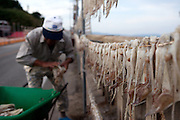 Korean fishermen hanging cuttlefish on lines to dry out / South Korea, Republic of Korea, KOR, 04 October 2009.