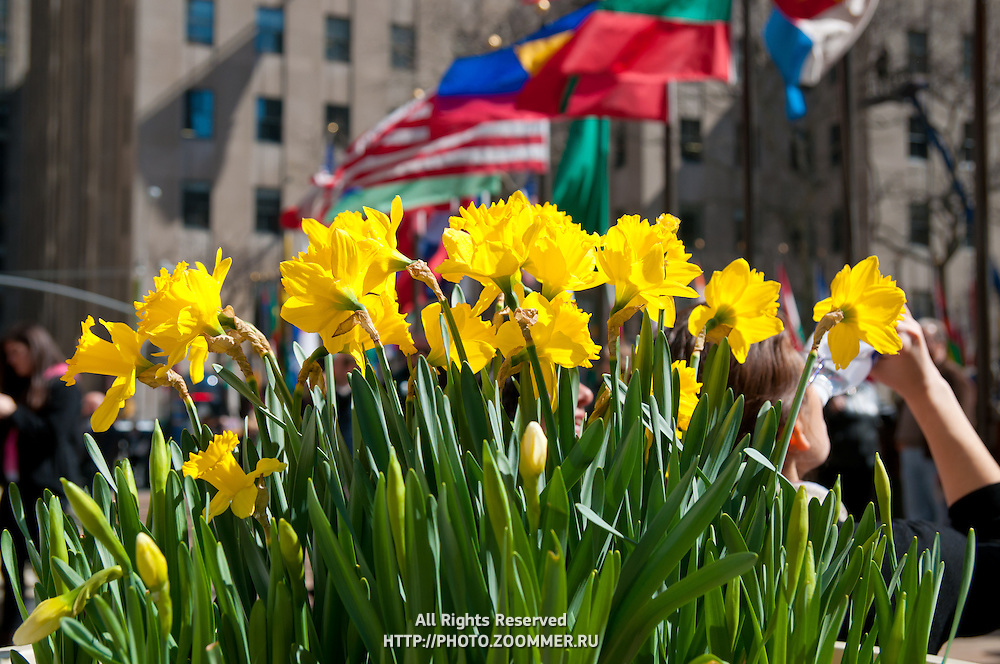 Bright yellow flowers and flags in Rockefeller Center, Manhattan