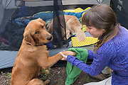 Wiping off a dog's paws (golden retriever) before getting into the tent, Toiyabe National Forest, California