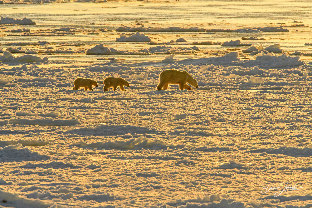 Polar Bear (Ursus maritimus) Mother and cubs wandering Hudson Bay coastline waiting for the sea ice to form., Churchill Wildlife Management ar, Manitoba, Canada