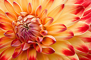 """Dahlia<br /> <br /> Available sizes:<br /> 12"""" x 18"""" print  or canvas wrap<br /> <br /> See Pricing page for more information.<br /> <br /> Please contact me for custom sizes and print options including canvas wraps, metal prints, assorted paper options, etc. <br /> <br /> I enjoy working with buyers to help them with all their home and commercial wall art needs."""