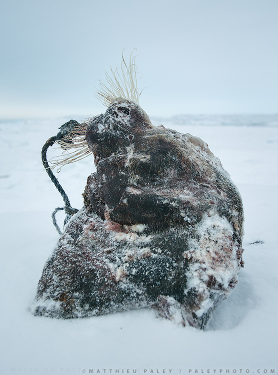 Head of a bearded seal. Bent Igniatiussen is getting food for his family as well as for his sled dogs, in a wodden box placed at the edge of the settlement. Life in and around the small Inuit settlement of Isortoq (population of 64), in East Greenland.