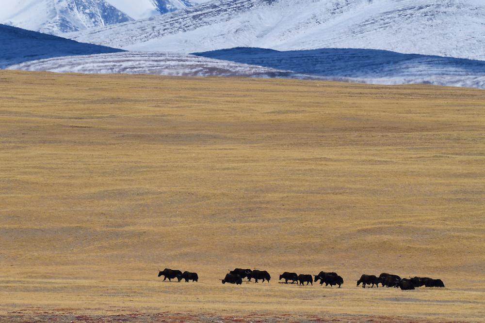 A group of Wild Yak, (Bos mutus), with mountain background, Keke Xili, Changtang,Tibetan Plateau, Qinghai, China