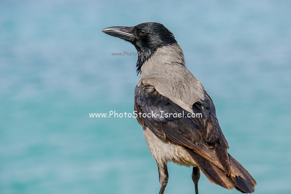 Hooded Crow (Corvus cornix) Photographed in Israel in February