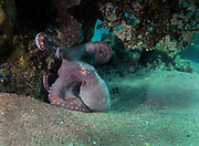 Cyanea Octopus on sand under coral reef, Red Sea, Egypt