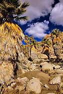 Lost Palm Oasis in Joshua Tree National Park in California
