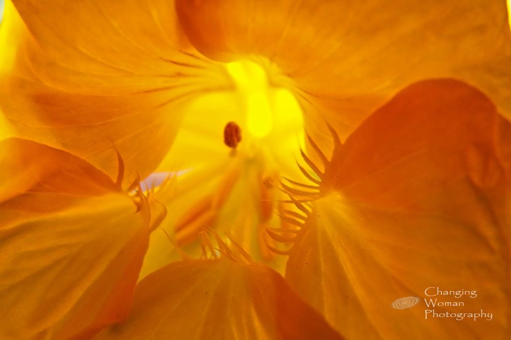 Full-frame macro image of common nasturtium, Tropaeolum hybrid, shows petal structure in focus and reproductive organs off focus. Orange and yellow hues predominate, with yellow center having a suggestive angelic or human shape.