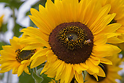 Close-up of bees on sunflowers