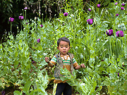 The son of an Akha subsistence farmer plays in an illegal opium poppy field in Phongsaly province, Lao PDR.