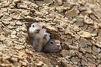 Curious baby Richardson's ground squirrels