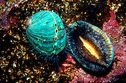 UNDERWATER MARINE LIFE EAST PACIFIC: Northeast CLAMS: Green abalone, juvenile Haliotis species