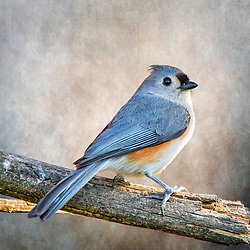 A Tufted Titmouse Up Close and Personal
