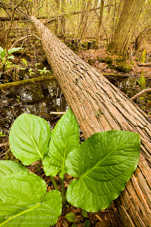 Skunk cabbage in an Atlantic White Cedar bog at Windrush Farm in North Andover and Boxford, Massachusetts.
