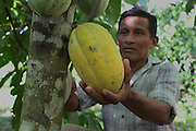"""Luciano Sho, 52, cacao grower from San Antonio, harvests a cacao pod. Mr. Sho switched from rice farming in 2004 and joined the TCGA in 2005. He now has 17,000 cacao trees and is one of the organization's most successful members. """"Thanks to the TCGA and Fair Trade for providing us great benefits. I have 13 children and many have been granted Fair Trade scholarships. I am very proud to belong to the TCGA."""" Toledo Cacao Growers' Association (TCGA), San Antonio, Toledo, Belize. January 28, 2013."""
