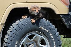 Baby Cheetah At Southern Serengeti - 4 Sep 2019