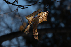 Moody backlit dried and distorted leaf dangles from a tree branch with a slightly darkened bluish sky behind it